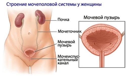 Наиболее часто инфекция внедряется по восходящей, из уретры в мочевой пузырь