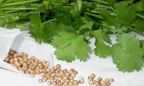 Для лечения цистита используют и семена ароматной петрушки, которые можно собрать самостоятельно или купить в аптеке