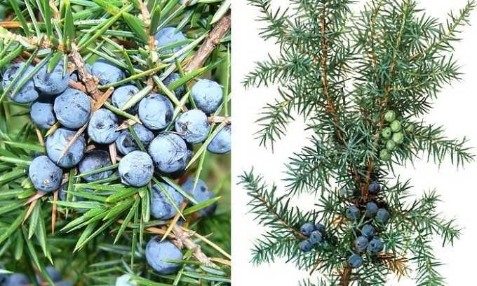 Полезно приготовить состав из плодов можжевельника, в который добавляют мяту и кусочек корня имбиря