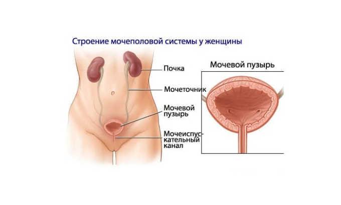 В силу особенностей мочеполовой системы (более широкий и короткий уретральный канал) женщины чаще подвержены заболеванию