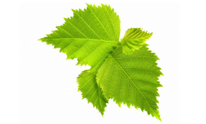 Для лекарственного сбора подойдут листья берёзы