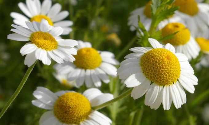 Для лечения цистита необходимо взять 1 ст. л. сухих цветков ромашки и залить 200 мл кипятка