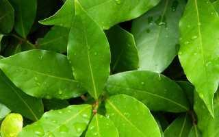 Эффективное лечение цистита лавровым листом