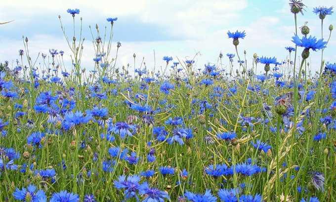 Цветки василька способны устранить болезненность и отечность