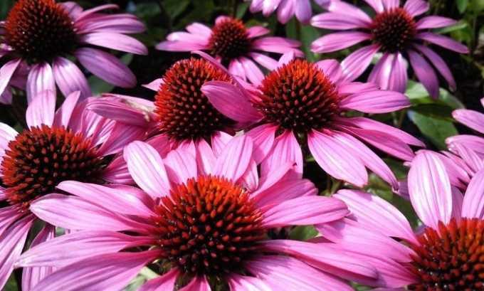 Для подготовки целебного настоя лучше использовать цветки лекарственных растений