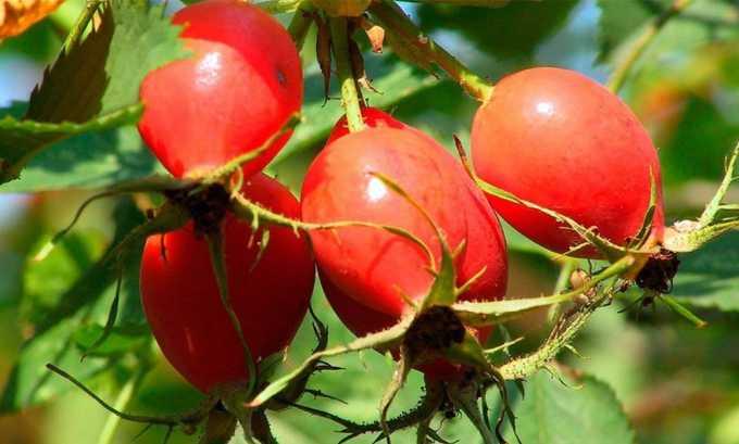Плоды шиповника используются для лечения пиелоцистита