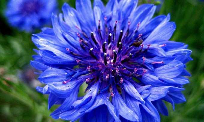 Цветки василька синего оказывают мочегонное действие
