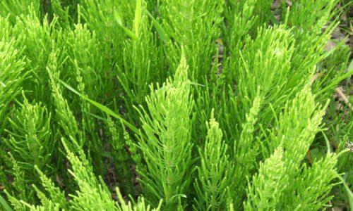 Если заболевание у мужчин вызвано аллергеном, поможет хвощ полевой