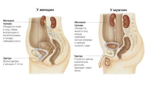 Причина того, что цистит чаще встречается у девочек, заключается в особенностях строения мочеиспускательного канала: уретра меньшей длины, но шире, чем у мальчиков