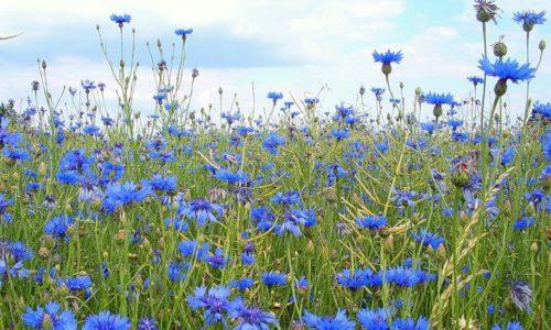 Для лечения хронического цистита у ребенка в домашних условиях применяют отвар из цветков василька полевого