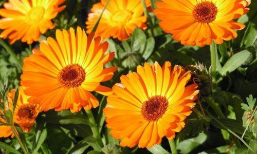 Лечебными и противовоспалительными свойствами обладают цветки календулы