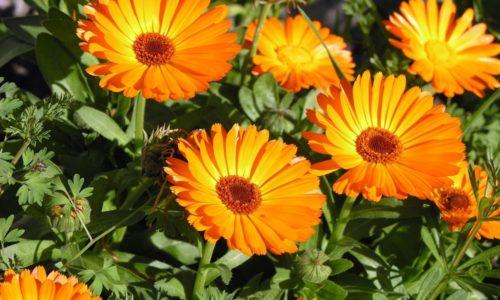 Болеутоляющее средство готовят из цветков календулы