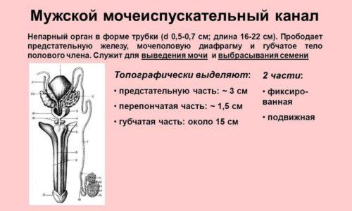 Длинный и узкий мочеиспускательный канал у мужчин затрудняет проникновение инфекции в орган