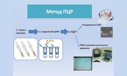 Возбудитель инфекционного процесса может быть выявлен методом ПЦР