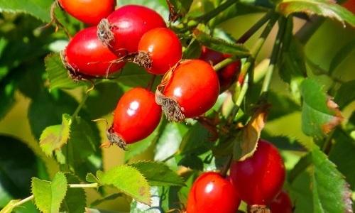 Для лечения цистита можно использовать плоды шиповника