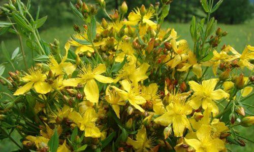 Для лечения цистита используется смесь имбиря в виде порошка и цветков зверобоя